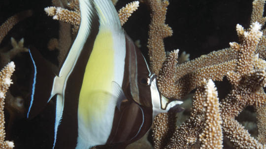 Moorish Idol in Staghorn Coral, Great Barrier Reef
