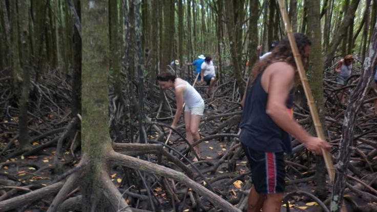 Follow your guide into the Mangroves around the Daintree