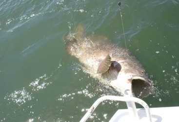 Catch a famous Barramundi