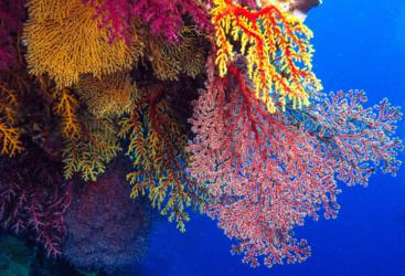 Fan Coral on the Great Barrier Reef