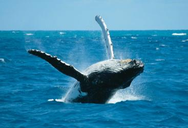 Humpback whales Great Barrier Reef June - August