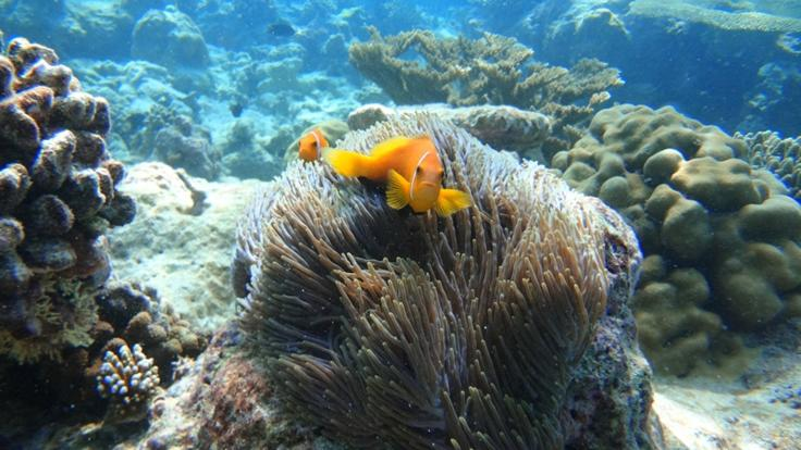 Clown fish on the Outer Reef in Cairns
