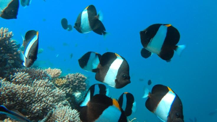 Cairns marine life - Bright tropical reef fish