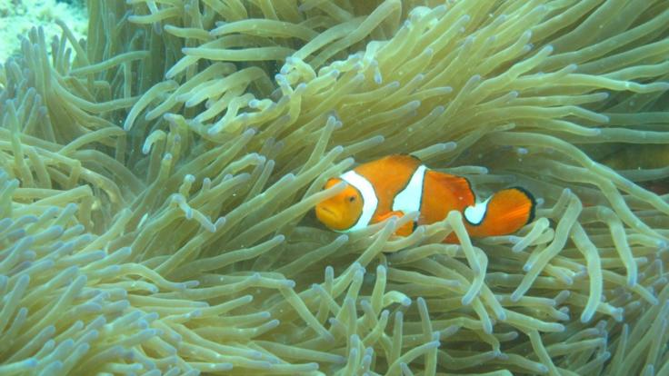 See Nemo in the Anemones - Great Barrier Reef