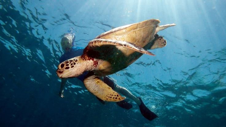 snorkel and scuba dive with turtles on the Great Barrier Reef