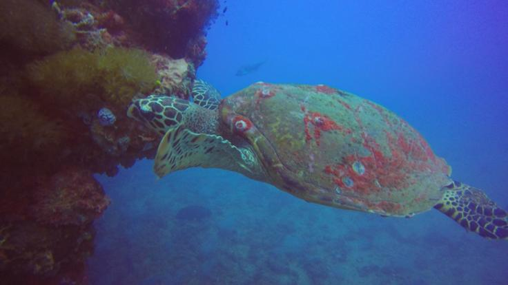 Turtle at the SS Yongala dive site