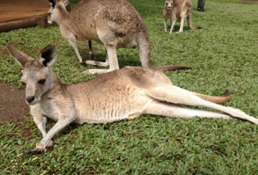 Meet the kangaroos and wallabies at Rainforestation in Kuranda