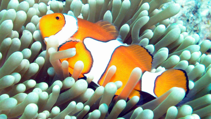 See Nemo on the Outer Great Barrier Reef