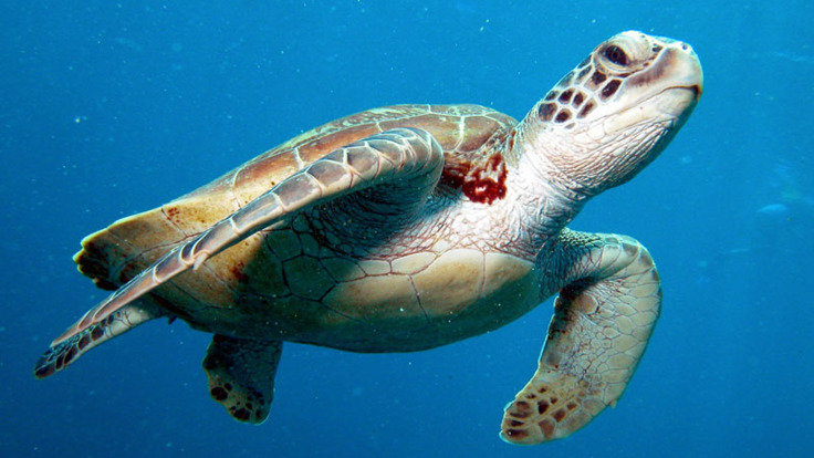 Sea turtle on the Great Barrier Reef