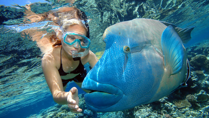 Snorkeller and Wally the giant Maori Wrasse in Cairns - Great Barrier Reef Australia