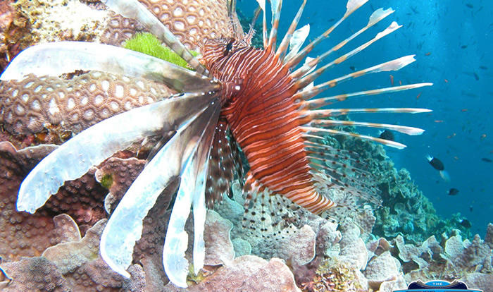 Beautiful Lionfish at Agincourt Reef - but don't touch!