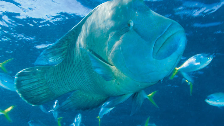 Snorkel and swim with Maori Wrasse on the Great Barrier Reef