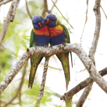 Rainbow Lorikeets, Great Keppel Island