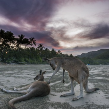 Kangaroos at Cape Hillsborough