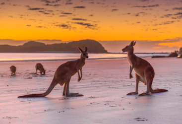 Kangaroos on the beach at sunrise, Cape Hillsborough